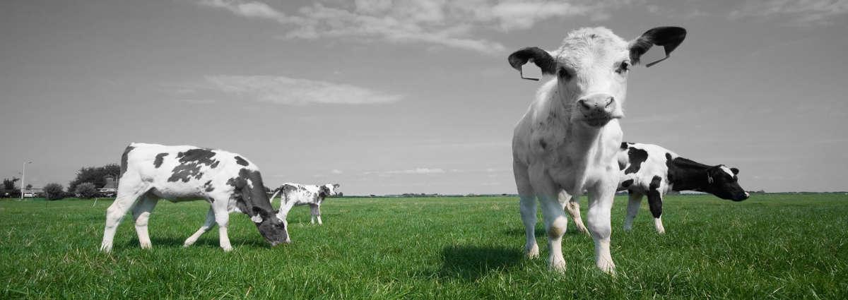 cow-slide-2